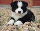 出售纯种边境牧羊犬宝宝幼犬品相好 健康有保障