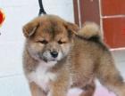 柴犬大脸网红狗 引进日系种犬自家繁殖纯种健康包售后