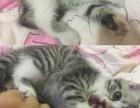 自己家的美短宝宝生了两只,有没有想要的猫主子~