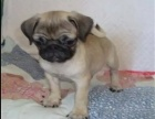 出售纯种巴哥幼犬狗狗品相好健康保证 质量保证
