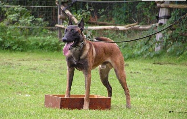 专业繁殖双血统马犬 科目马犬 价格便宜 全国免费包运