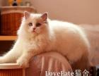 纯种布偶猫幼崽小猫 猫舍 CFA认证专业猫舍猫屋