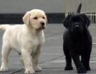 拉布拉多犬小狗图片视频 纯种3个月拉布拉多犬多少钱