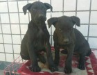 广州自家养的黑狼犬幼犬出售品相好价格低