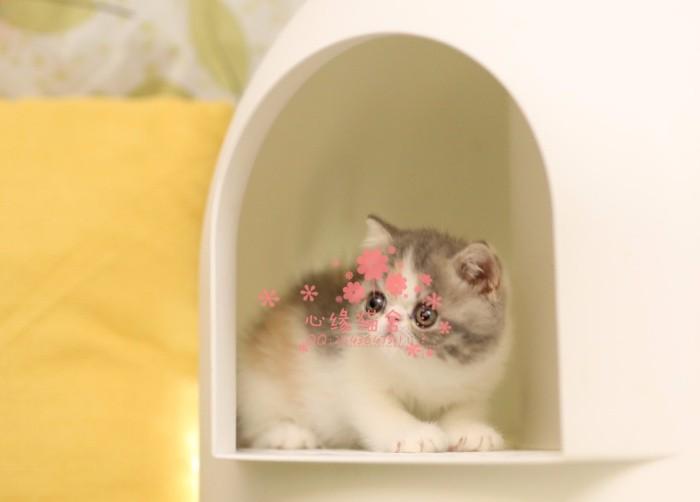 西安哪里有卖加菲猫幼崽 西安较便宜加菲猫多少钱一只保健康