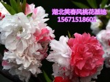 观赏桃花树苗3公分红叶碧桃树苗