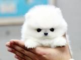 买高品质博美狗狗 保健康纯种 签售后协议 基地直销