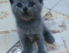 刚满月的一窝小蓝猫