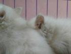 狮子猫800 猫咪价格以标题价格为准