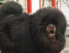 【藏獒幼犬保证纯种健康、签订活体协议、