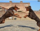 北京兴弘正规犬舍繁殖杜宾 疫苗驱虫齐全 北京纯种杜宾的价格