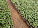 内蒙古法兰帝草莓苗生产厂家 红颜草莓苗 草莓苗批发