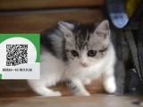 南阳在哪里卖健康纯种宠物猫 南阳哪里出售虎斑猫