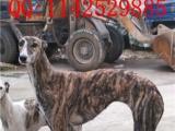 北京市格力犬价格格力犬养殖
