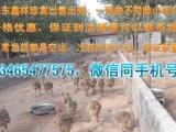 兰溪市非洲鸵鸟苗价格