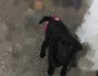 拉布拉多黑色5个月幼犬转让