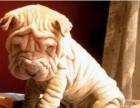 兰州哪有沙皮犬卖 兰州沙皮犬价格 兰州沙皮狗多少钱