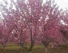 山东临沂化作樱花树工程苗的批发价格欢迎随时拨打业务专线咨询