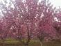 临沂15公分樱花树的价格是多少