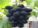 秦皇岛品种好的葡萄苗供应_绍兴甜蜜蓝宝石葡萄