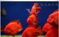 小型发财鱼血鹦鹉超低价出售