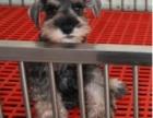 **雪纳瑞幼犬出售 精品名犬繁殖基地 保证健康
