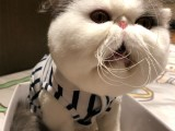 纯种异国短毛猫大脸加菲猫幼崽包子脸波斯猫