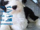 古代牧羊犬 白头通背,四脚踏雪幼犬,保健康纯种