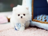 哈多利亚球形博美犬 优质品种健康第一 签协议诚信交易