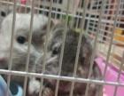 魔王红腹松鼠.龙猫、蜜袋鼯鼠、非洲迷你刺猬出售