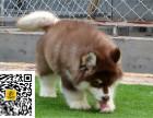 哪里有卖阿拉斯加阿拉斯加多少钱阿拉斯加图片阿拉斯加幼犬