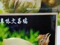 专养专供海南潭牛文昌鸡(椰子鸡主材)