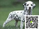 在哪里买纯种的斑点狗幼犬 斑点狗幼犬最低多少钱
