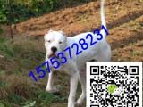 杜高犬多少钱,怎么训练杜高幼犬,哪里出售杜高犬