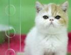 本地猫舍包纯包健康,蓝猫渐层各类品种猫