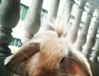转让垂耳兔,宠物兔