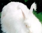 珍珠长毛兔 珍珠长毛兔加盟招商