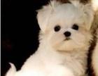 美女帅哥最喜欢的迷你马尔济斯幼犬想要的速速进来