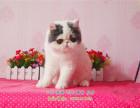 家养加菲妹妹求铲屎官一枚 加菲猫净梵梵花