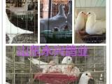 宁波出售观赏鸽元宝鸽肉鸽