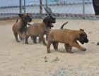 深圳高品质的马犬出售了 疫苗做完 质量三包