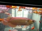 收购各种观赏鱼红龙鱼金龙鱼银龙鱼罗汉鱼等各种观赏鱼