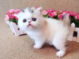 纯种健康波斯猫宝宝出售 可爱活泼 血统纯正