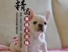 山东济南哪里卖纯种法国斗牛犬幼犬