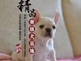 北京哪里卖纯种法国斗牛犬幼犬