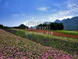 天人菊基地 供应品种好的菊花