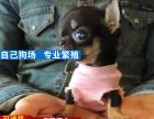 成都纯种吉娃娃犬价格,成都哪里能买到纯种吉娃娃犬