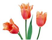 壹贰叁花卉苗木供应实惠的绿化郁金香|绿化郁金香价格
