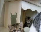 赛级加菲猫繁育的首选