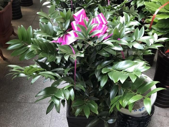 哈尔滨尚志批发小绿萝发财树买花送小盆栽